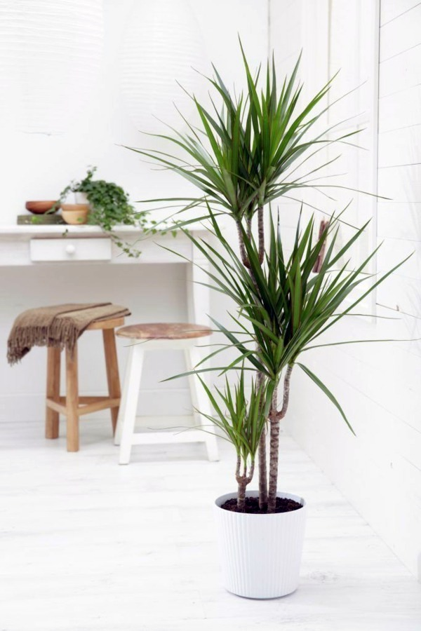 Indoor palm tree inside white interior