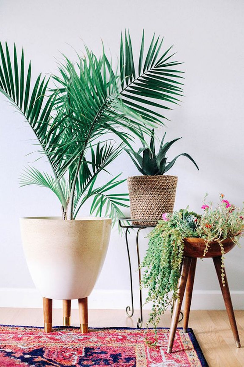 Set of indoor house palms with pink oriental rug