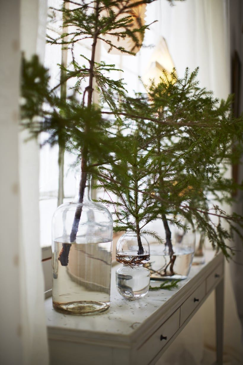 Evergreen branches in glass jars with water